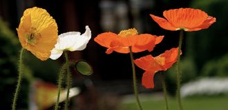 Poppies. Mix of poppies Stock Photo