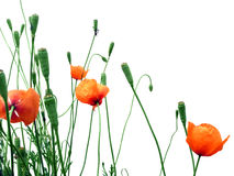 Poppies. A group of poppies against a white background Royalty Free Stock Photography