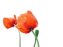 Poppies. Two poppies and a seed pod isolated against white Royalty Free Stock Images
