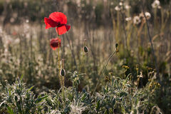 Poppies. Back lit with early morning light stock images