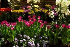 Poppies. Tulips stock photos