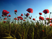 Poppies. Red poppies in the blue sky Stock Image