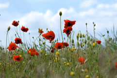 Poppies. Red poppies in front of blue sky royalty free stock image