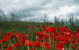 Poppies Royalty Free Stock Photo