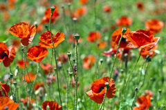 Poppies. Field of wheat and poppies in spring Stock Image