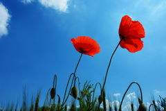 Poppies Royalty Free Stock Photo