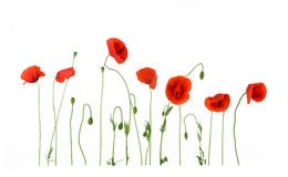 Poppies. Red poppies in a row. Isolated on white background Royalty Free Stock Images