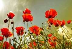 Poppies Stock Image