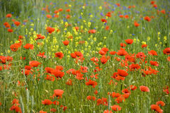 Poppies. Shining red poppies (papaver rhoeas) with bluebottles and canola in the background royalty free stock image