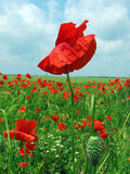 Poppies. Red poppies on a field Royalty Free Stock Image