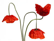 Free Poppies Stock Photography - 146292