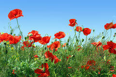 Poppies. Wild red poppies under blue sky Stock Photos
