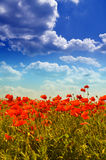 Poppies. Wild red poppies under the blue summer sky Royalty Free Stock Photography