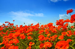 Poppies. Wild red poppies under the blue summer sky Royalty Free Stock Photo