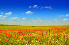 Poppies. Wild red poppies field under the blue summer sky Royalty Free Stock Photography
