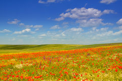 Poppies. Wild red poppies field under the blue summer sky Royalty Free Stock Photos