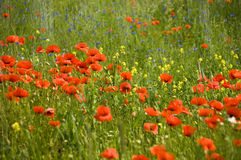 Poppies. Shining red poppies with bluebottles and canola in the background royalty free stock photography