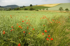 Poppies. Shining red poppies (papaver rhoeas) in a field with ripening canola husks royalty free stock image