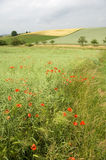 Poppies. Shining red poppies (papaver rhoeas) in a field with ripening canola husks royalty free stock photos