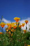 Poppies. California Poppies Stock Image