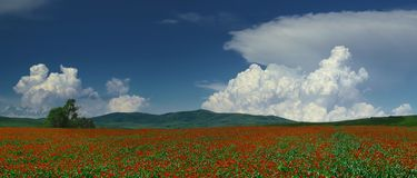 Poppies. Field of blossoming poppies (panorama). Kazakhstan Stock Photos