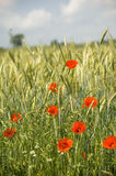 Poppies. Shining red poppies (papaver rhoeas) in a field with ripening cereal ears royalty free stock photos