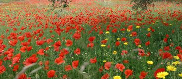 Poppies. Panorama of poppy field Stock Photos