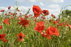 Poppies. In fields of crops with cloudy sky Royalty Free Stock Photography