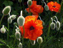 Poppies. Red poppies in the beautiful garden Royalty Free Stock Photo