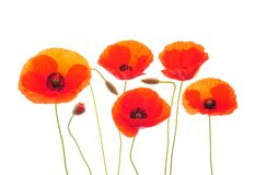 Poppies Royalty Free Stock Photography