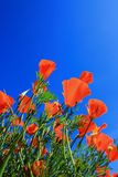 Poppies. On green field and bule sky Stock Photo