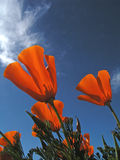Poppies. California poppies reaching for the sun Royalty Free Stock Photos