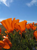 Poppies. California poppies reaching for the sun Stock Photo