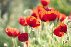 Poppies. Backlit poppies in nature, soft focus stock photo