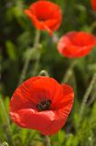 Poppies. Bright red poppies in a fiels in Southern France royalty free stock photography
