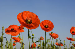 Poppies. Wild poppies against blue sky Stock Photo