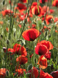 Poppies. Red poppies on the grass in a beautiful day royalty free stock image