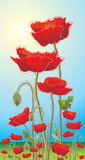 Poppies. Wildflowers on a background of solar sky Royalty Free Stock Photo