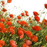 Poppies. Wild poppies against a white background royalty free stock photo