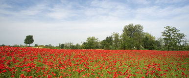 Poppies. San Daniele Po (Cr) Italy , a field of poppies in the floodplain of the River Po Royalty Free Stock Images