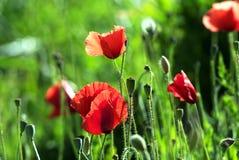 Free Poppies Royalty Free Stock Photo - 24825235