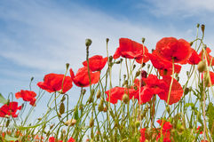 Poppies. Wild red summer poppies in wheat field stock photo