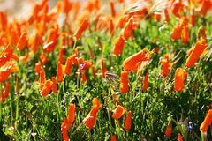 Poppies. California Poppies, bright orange flowers in abundance Royalty Free Stock Photo