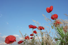 Poppies. A closeup of some poppies viewed from the bottome Stock Photos