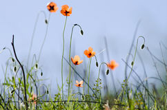 Poppies. Field of Corn Poppy Flowers Royalty Free Stock Photography