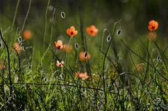 Poppies. Field of Corn Poppy Flowers Stock Photography