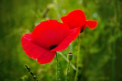 Poppies. Red poppies on a background of green grass royalty free stock image