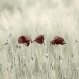 Poppies. Flowers in field. Desaturated stock image