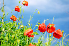 Poppies. Red poppies in the green grass Royalty Free Stock Images