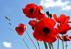 Poppies. Red poppies in the blue sky royalty free stock photography